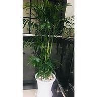cây cau Hawai văn phòng thumbnail