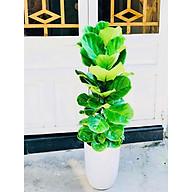 Cây bàng sing văn phòng vườn xanh 24h thumbnail