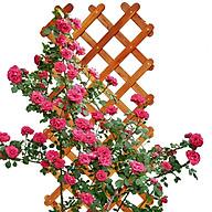 Giàn hoa hồng leo Gỗ Caro C190 thumbnail