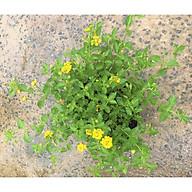 Chậu hoa ngũ sắc hoa vàng gốc to tán rộng thumbnail