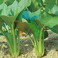 Hạt giống Rau Cải ngọt F1 - Nảy mầm cao Titapha thumbnail