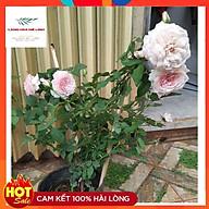 Hoa hồng Misaki Rose - Nếu bạn muốn chọn một giống hoa khỏe, sai hoa, dễ trồng , hoa màu hồng phấn thumbnail