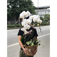Chậu hoa Lan Hồ Điệp Đà Lạt - Mẫu 78 - Đường kính 25 x cao 90 cm - Mầu Trắng - Chậu hoa, cây cảnh tặng khai trương, tân gia thumbnail