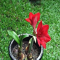 Củ hoa lan huệ kép thumbnail