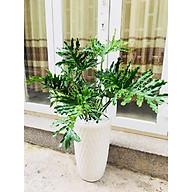 Cây trầu bà thanh xuân vườn xanh 24h thumbnail