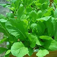 Hạt giống Cải bẹ xanh mỡ Titapha - nảy mầm cao thumbnail