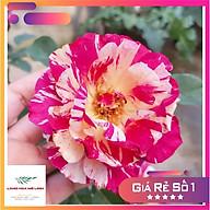 Hoa Hồng Ngoại Maurice Utrillo rose đẹp như một bức tranh nhiều màu sắc. thumbnail