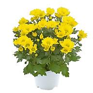 Hoa Cúc Vàng Mẫu 2 thumbnail