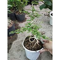 Cây Cần Thăng Bonsai Mini Chậu Nhựa thumbnail