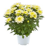 Hoa Cúc Vàng Mẫu 1 thumbnail