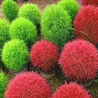 1 Gói Hạt Giống Cỏ Đổi Màu Kochia (100 hạt gói) thumbnail
