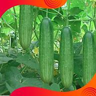 02 Gói Hạt GIống Dưa Chuột Chịu Nhiệt thumbnail