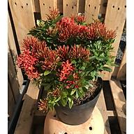 Cây hoa Trang Thái màu đỏ thumbnail