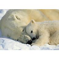Tranh Dán Tường CASAMA Gấu Bắc Cực 1-605 thumbnail