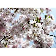 Tranh Dán Tường CASAMA Hoa Anh Đào NW8-507 thumbnail