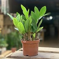 Cây Kim Tiền mini để bàn (cây Kim Phát Tài) (cây chậu nhựa) thumbnail