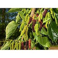 Dâu trái dài - Dâu Tằm Đài Loan giống chuẩn - chiều cao 30-50cm thumbnail