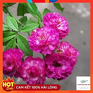 Hoa hồng ngoại Vineyard Song - loài hoa của những hoài niệm đẹp, mang trong mình sức sống dẻo dai. thumbnail