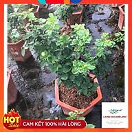 Hoa hồng bonsai Hoa hồng thế nghệ thuật dành cho người yêu hoa. thumbnail
