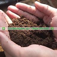 Cây Hoa Cúc Lá Nhám, bịch đen cao 25-30cm, được lựa chọn đủ màu sắc. thumbnail