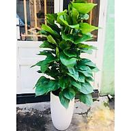 Cây trầu bà leo cột vườn xanh 24h thumbnail