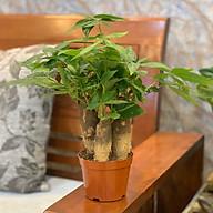 Combo 10 cây Kim Ngân 3 thân - Cây mini để bàn - Dài 12 x Rộng 12 x Cao 30 cm thumbnail