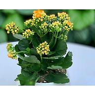 Cây để nàm sống đời hoa vàng lá to khỏe thumbnail
