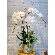 Chậu hoa Lan Hồ Điệp Đà Lạt - Mẫu 83 - Đường kính 25 x cao 70 cm - Mầu Trắng - Chậu hoa, cây cảnh tặng khai trương, tân gia thumbnail