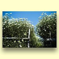 Tranh Trang Trí Treo Tường Canvas Hoa Cúc Hoạ Mi Hà Nội - Công Nghệ In UV Nhật Bản - Màu Sắc Đẹp Rõ Nét thumbnail