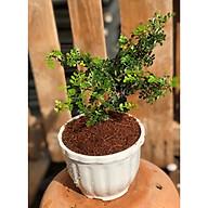 Chậu cây Cần Thân bonsai thumbnail