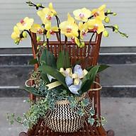 Chậu hoa Lan Hồ Điệp Đà Lạt - Mẫu 64 - Đường kính 25 x cao 60 cm - Mầu Vàng - Chậu hoa, cây cảnh tặng khai trương, tân gia thumbnail