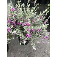 Cây hoa Tuyết Sơn gốc to tán rộng cao 70 - 90 cm thumbnail