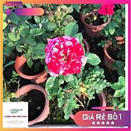 Hoa hồng Bụi Julio Iglesias màu Sọc Đỏ Trắng, hương thơm ngọt ngào thumbnail