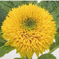 Hạt giống Hoa hướng dương kép (20 hạt) thumbnail