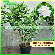Cây Bạch Thiên Hương đã có nụ & hoa, bịch đen cao 90cm -1m, cây làm cảnh ra hoa thơm dễ chịu thumbnail