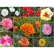 Hạt Giống Hoa Mười Giờ Kép (0.6gr 200 hạt) thumbnail