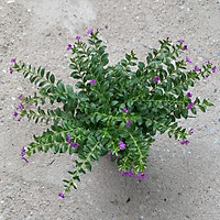 Cây lá gấm - cây tía tô cảnh cao 8cm, màu sắc rực rỡ rất bắt mắt, thích hợp trang trí thảm nền công trình và sân vườn