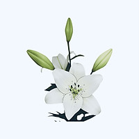 Eyeliner Lily (hoa Lily Eyeliner)