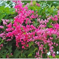 Cây hoa TIGON trồng chậu cao 75cm, hoa mọc từng chùm màu hồng tuyệt đẹp, cây trồng ban công tường rào