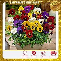Hạt giống hoa Viola pansy mix nhiều màu