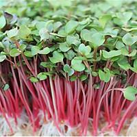Hạt giống Rau mầm Củ cải đỏ Titapha - Nảy mầm cao