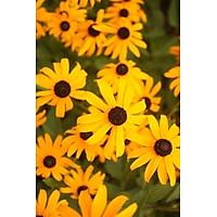 Tranh in màu decor trang trí Hoa Cúc21 _ African Daisy