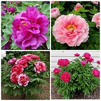 Hạt Giống Hoa Mẫu Đơn kép Mix 2 màu (10 hạt)