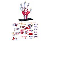 Mô hình phẫu thuật  Tay