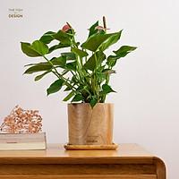 Chậu cây hồng môn | THE FISH SIZE L ( trang trí trong nhà, để bàn làm việc,...)