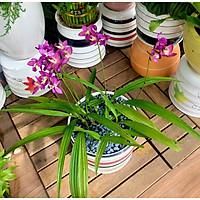Chậu sứ cây địa lan hoa màu tím tặng kèm đá trang trí