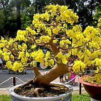 COMBO 05 Cây giống hoa mai vàng yên tử tặng 1 siêu ra rễ cho cây ( cây cao 30-40cm)