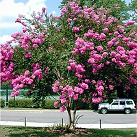 Cây hoa tường vi cao 50 cm (ảnh thật)