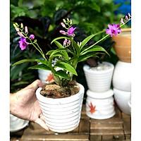 Chậu sứ cây lan Denro mini