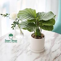 Cây công táo - Tặng thiệp, thẻ tên, đất, sỏi - Cây phong thủy - quà tặng cây xanh - Soenshop